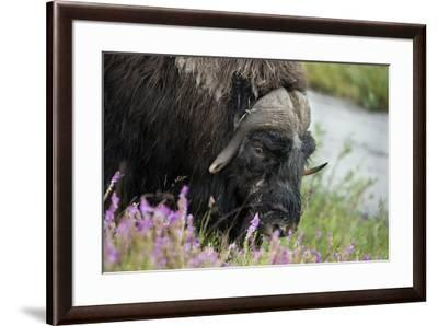 Alaska, Nome. Muskox male with wildflowers.-Cindy Miller Hopkins-Framed Premium Photographic Print