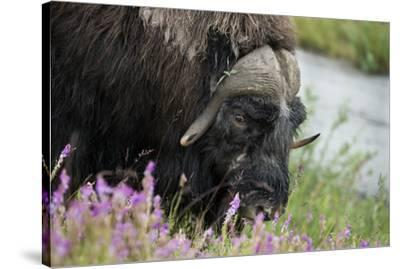 Alaska, Nome. Muskox male with wildflowers.-Cindy Miller Hopkins-Stretched Canvas Print
