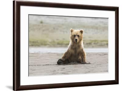 Immature coastal grizzly bear sits on beach. Lake Clark National Park, Alaska.-Brenda Tharp-Framed Premium Photographic Print