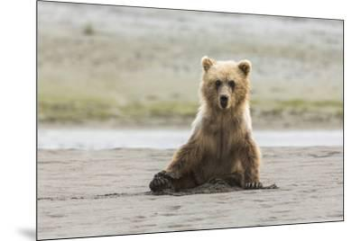 Immature coastal grizzly bear sits on beach. Lake Clark National Park, Alaska.-Brenda Tharp-Mounted Premium Photographic Print