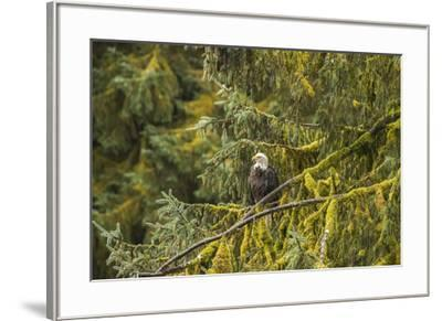 USA, Alaska, Tongass National Forest. Bald eagle in tree.-Jaynes Gallery-Framed Premium Photographic Print