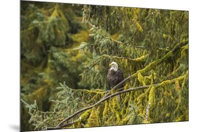 USA, Alaska, Tongass National Forest. Bald eagle in tree.-Jaynes Gallery-Mounted Premium Photographic Print