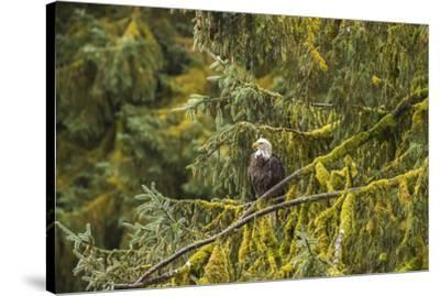 USA, Alaska, Tongass National Forest. Bald eagle in tree.-Jaynes Gallery-Stretched Canvas Print