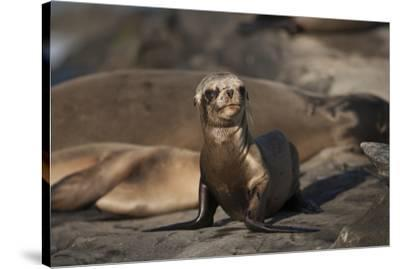 USA, California, La Jolla. Baby sea lion on sand.-Jaynes Gallery-Stretched Canvas Print