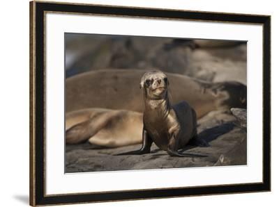 USA, California, La Jolla. Baby sea lion on sand.-Jaynes Gallery-Framed Premium Photographic Print