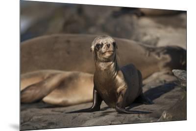 USA, California, La Jolla. Baby sea lion on sand.-Jaynes Gallery-Mounted Premium Photographic Print