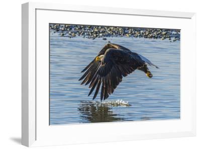 USA, Alaska, Chilkat Bald Eagle Preserve, bald eagle flying-Jaynes Gallery-Framed Premium Photographic Print