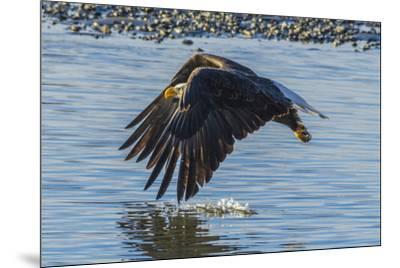 USA, Alaska, Chilkat Bald Eagle Preserve, bald eagle flying-Jaynes Gallery-Mounted Premium Photographic Print