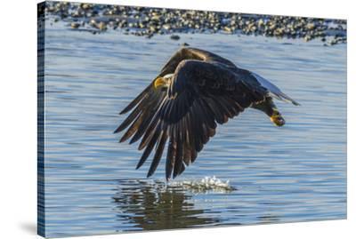 USA, Alaska, Chilkat Bald Eagle Preserve, bald eagle flying-Jaynes Gallery-Stretched Canvas Print