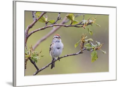 American Tree Sparrow Singing-Ken Archer-Framed Premium Photographic Print