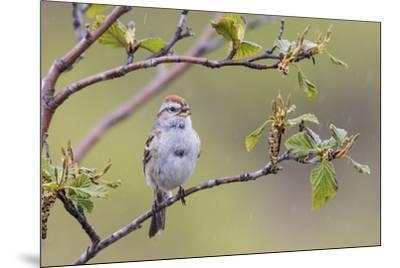 American Tree Sparrow Singing-Ken Archer-Mounted Premium Photographic Print