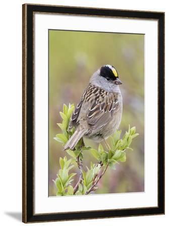 Golden-crowned sparrow-Ken Archer-Framed Premium Photographic Print