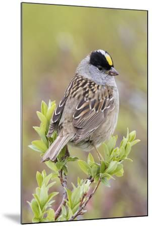 Golden-crowned sparrow-Ken Archer-Mounted Premium Photographic Print