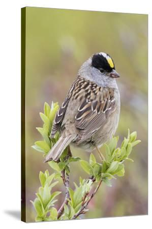 Golden-crowned sparrow-Ken Archer-Stretched Canvas Print
