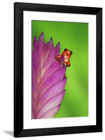 South America, Panama. Strawberry poison dart frog on bromeliad flower.-Jaynes Gallery-Framed Premium Photographic Print