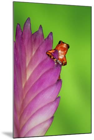 South America, Panama. Strawberry poison dart frog on bromeliad flower.-Jaynes Gallery-Mounted Premium Photographic Print
