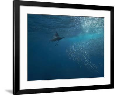 Indo-Pacific Sailfish watching sardines, Isla Mujeres, Mexico.-Tim Fitzharris-Framed Photographic Print
