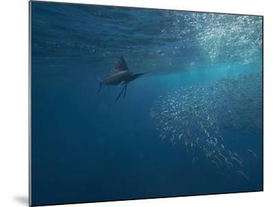 Indo-Pacific Sailfish watching sardines, Isla Mujeres, Mexico.-Tim Fitzharris-Mounted Photographic Print