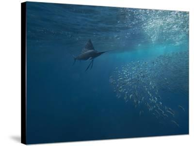 Indo-Pacific Sailfish watching sardines, Isla Mujeres, Mexico.-Tim Fitzharris-Stretched Canvas Print