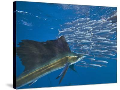 Indo-Pacific Sailfish and schooling sardines, Isla Mujeres, Mexico.-Tim Fitzharris-Stretched Canvas Print