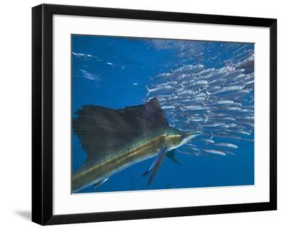 Indo-Pacific Sailfish and schooling sardines, Isla Mujeres, Mexico.-Tim Fitzharris-Framed Photographic Print