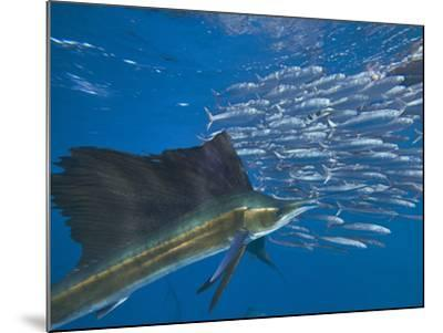 Indo-Pacific Sailfish and schooling sardines, Isla Mujeres, Mexico.-Tim Fitzharris-Mounted Photographic Print