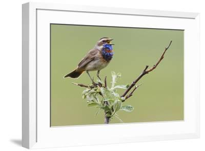 Bluethroat, Singing on his territory-Ken Archer-Framed Premium Photographic Print