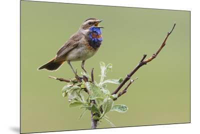 Bluethroat, Singing on his territory-Ken Archer-Mounted Premium Photographic Print