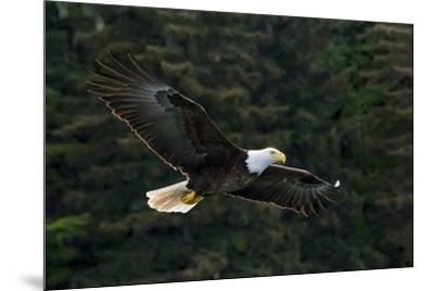 Bald Eagle, Glacier Bay National Park and Preserve, Alaska, USA-Art Wolfe-Mounted Premium Photographic Print