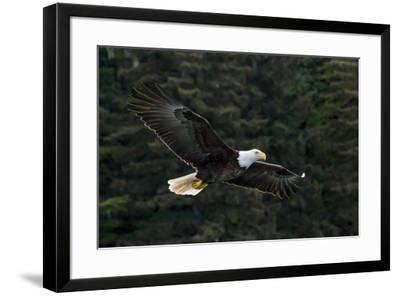 Bald Eagle, Glacier Bay National Park and Preserve, Alaska, USA-Art Wolfe-Framed Premium Photographic Print