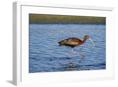 USA, California, Los Angeles. Glossy ibis in breeding plumage.-Jaynes Gallery-Framed Premium Photographic Print