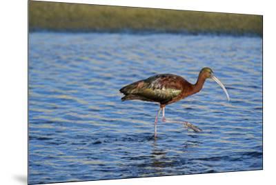 USA, California, Los Angeles. Glossy ibis in breeding plumage.-Jaynes Gallery-Mounted Premium Photographic Print