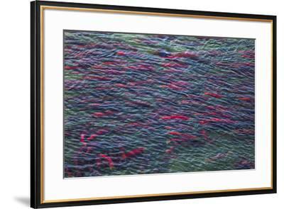 Sockeye salmon, Katmai National Park, Alaska, USA-Art Wolfe-Framed Premium Photographic Print