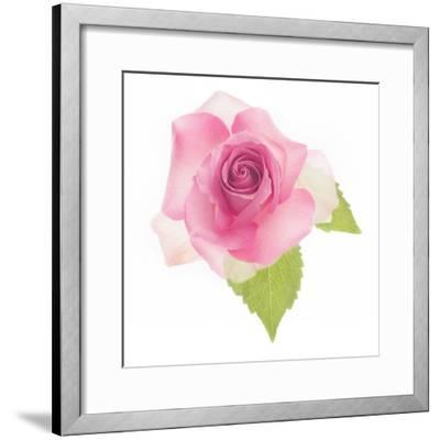 USA, Maryland, Bethesda, Pink Rose, Digitally Altered-Hollice Looney-Framed Photographic Print