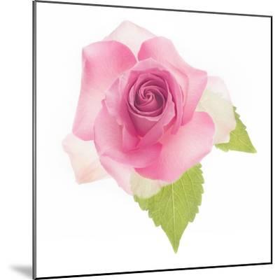 USA, Maryland, Bethesda, Pink Rose, Digitally Altered-Hollice Looney-Mounted Photographic Print