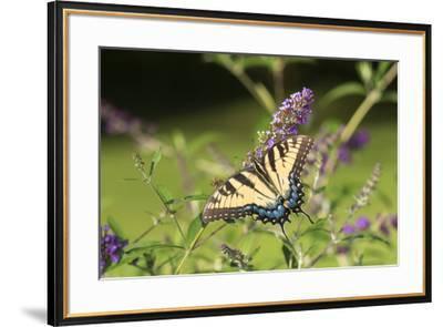 Eastern Tiger Swallowtail on Butterfly Bush, Illinois-John & Lisa Merrill-Framed Premium Photographic Print