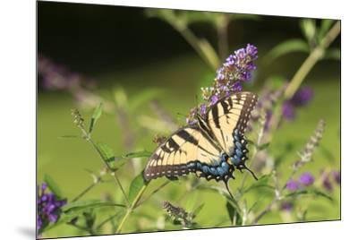 Eastern Tiger Swallowtail on Butterfly Bush, Illinois-John & Lisa Merrill-Mounted Premium Photographic Print