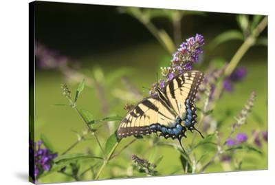 Eastern Tiger Swallowtail on Butterfly Bush, Illinois-John & Lisa Merrill-Stretched Canvas Print