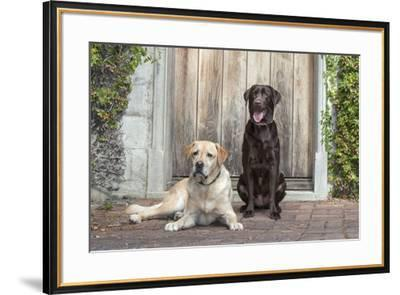 Yellow and Chocolate Labrador Retrievers sitting on rock patio-Zandria Muench Beraldo-Framed Premium Photographic Print
