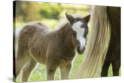 Miniature horse filly with mom, mare,-Maresa Pryor-Stretched Canvas Print