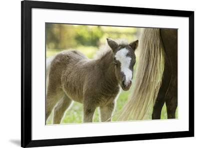 Miniature horse filly with mom, mare,-Maresa Pryor-Framed Premium Photographic Print