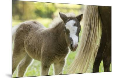 Miniature horse filly with mom, mare,-Maresa Pryor-Mounted Premium Photographic Print