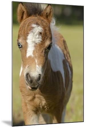 Baby Miniature horse paint colt-Maresa Pryor-Mounted Premium Photographic Print