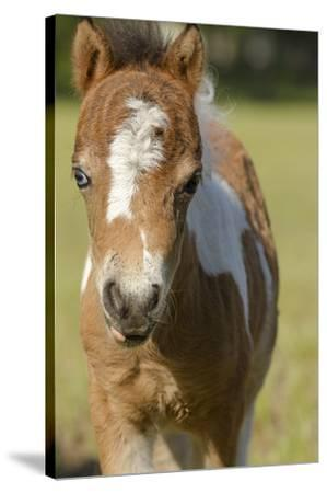 Baby Miniature horse paint colt-Maresa Pryor-Stretched Canvas Print