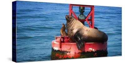 Steller sea lion, Eumetopias Jubatus, on harbor buoy, Ventura, California, USA-Russ Bishop-Stretched Canvas Print
