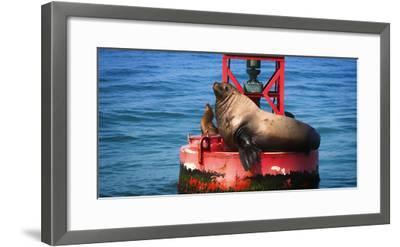 Steller sea lion, Eumetopias Jubatus, on harbor buoy, Ventura, California, USA-Russ Bishop-Framed Photographic Print