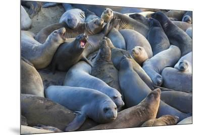 Northern elephant seals at Piedras Blancas Elephant Seal Rookery, San Simeon, California, USA-Russ Bishop-Mounted Premium Photographic Print