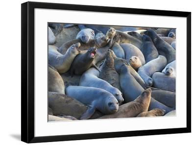 Northern elephant seals at Piedras Blancas Elephant Seal Rookery, San Simeon, California, USA-Russ Bishop-Framed Premium Photographic Print