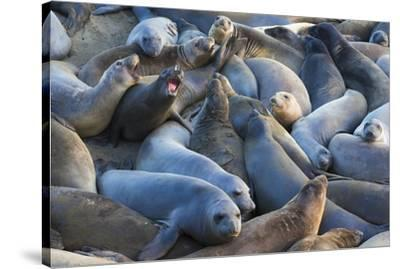 Northern elephant seals at Piedras Blancas Elephant Seal Rookery, San Simeon, California, USA-Russ Bishop-Stretched Canvas Print