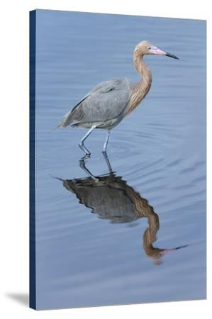 Reddish egret, Egretta rufescens, Merritt Island NWR, Florida, USA-Maresa Pryor-Stretched Canvas Print